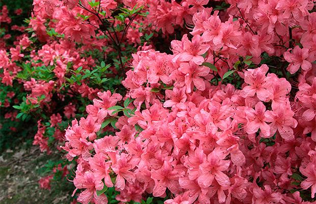 Jeli Arborétum varázskert rododendron