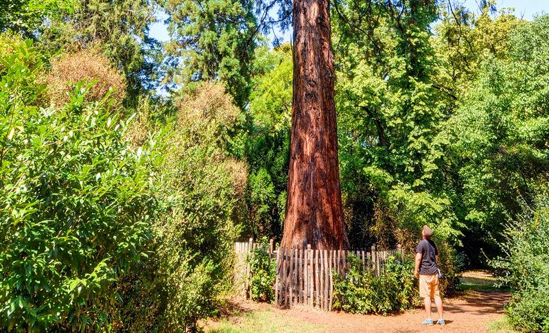 Szarvasi Arborétum-mamutfenyő