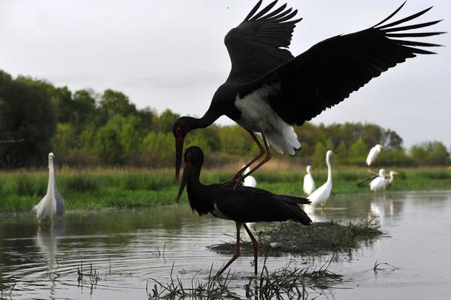 Hortobágyi Nemzeti Park fekete gólya